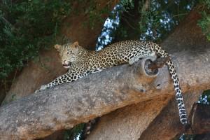 Leopard hel hemsida